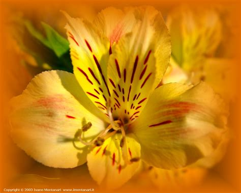 fresia fiore fresia 1280x1024 foto sfondi desktop wallpaper