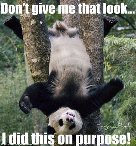 Funny Panda Memes - panda memes tumblr pandas pinterest