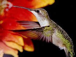 eating habits hummingbirds