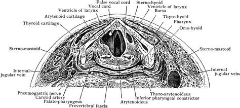 anterior section anterior part of section across neck at false vocal cords