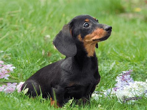 wiener puppies dachshund in the grass photo and wallpaper beautiful dachshund in the grass