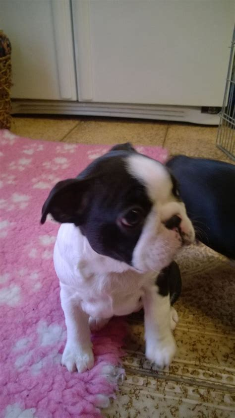 boston terrier puppies virginia boston terrier dogs for adoption breeds picture