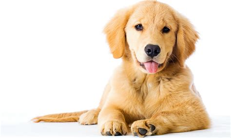 how to take care of a golden retriever the golden retriever the happy puppy site