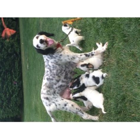 setter puppies ohio setter breeders in ohio freedoglistings