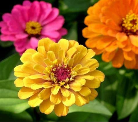 tips  merawat bunga zinnia  baik benar