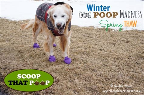 what temperature can a golden retriever withstand winter madness thaw scoopthatpoop golden woofs