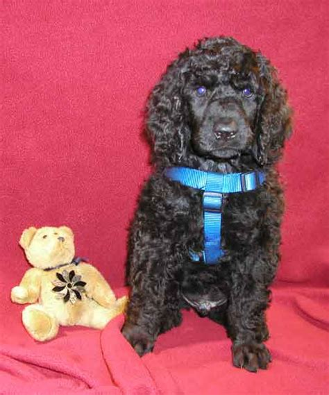 royal poodle lifespan royal standard poodle weight dogs in our photo