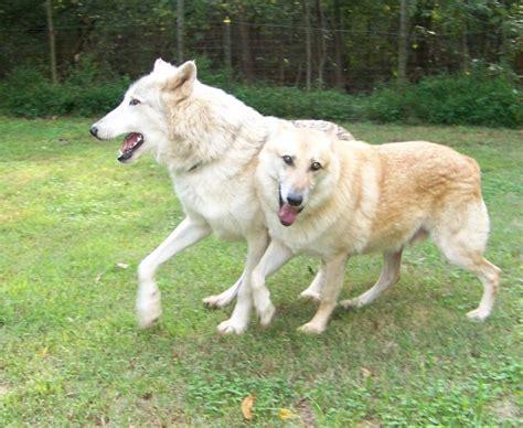 half wolf half half wolf half rottweiler