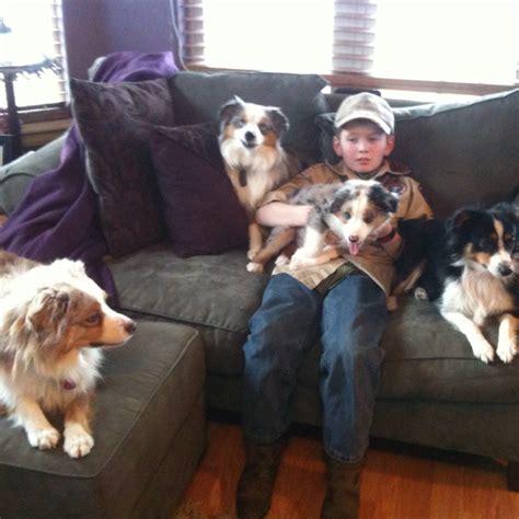 aussie blue couch 38 best animals images on pinterest animals mini aussie