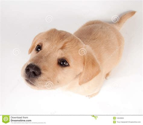 looking for free puppies puppy looking up royalty free stock photo image 14043635
