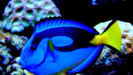 Pakan Ikan Hias Parrot ikan hias air laut blue tang dunia akuarium
