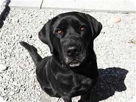 barrie, on labrador retriever. meet marlee a dog for