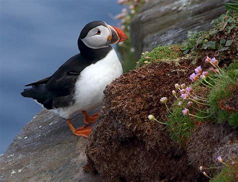 atlantic puffin birdwatching