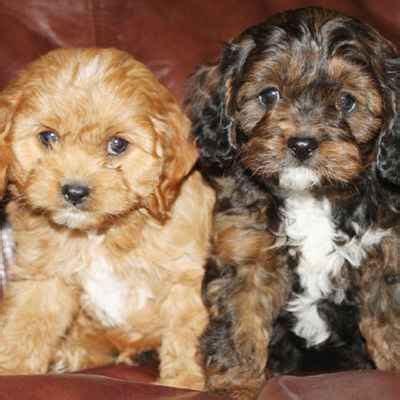 puppies toledo ohio puppies dogs for sale toledo oh the family puppy
