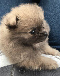 pomeranian puppy care pomeranian puppy care petpom