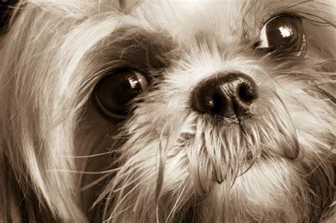 musetto testo dettaglio musetto shih tzu cani di razza shih tzu