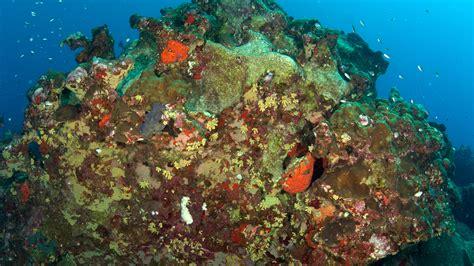 Flower Garden Reef Invasive Cup Coral Flower Garden Banks National Marine