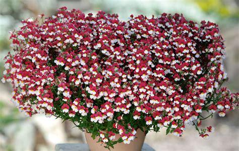 Elfenspiegel Bilder by Rot Wei 223 E Sommerblume Cherry On