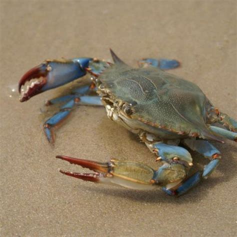 27 best images about blue crabs on pinterest crabs when are maryland blue crabs in season maryland