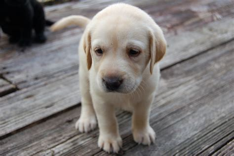 golden lab puppies yellow lab puppy flickr photo