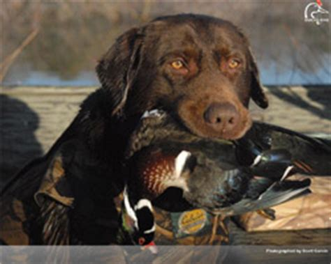 puppies unlimited ducks unlimited wallpaper www pixshark images galleries with a bite