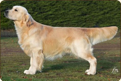 catcombe golden retrievers chien golden retriever xanthos grisham