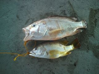 Umpan Pancing Paikin Merah Special goldenson pancing amatur penang ikan merah bawah jambatan