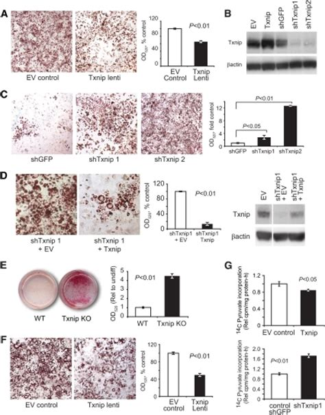 dmi inductor type bl1 txnip deletion promotes adipocyte differentiation a l open i