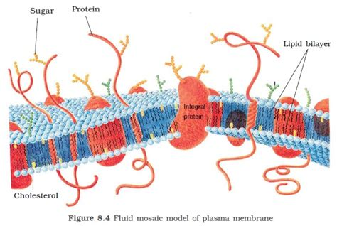 protein lipid ratio erythrocyte membrane ncert class xi biology chapter 8 the unit of