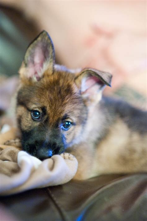 where to get a german shepherd puppy handcycle german shepherd tired puppy how iroll
