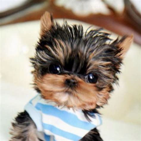 the cutest yorkie in the world the cutest yorkie poos