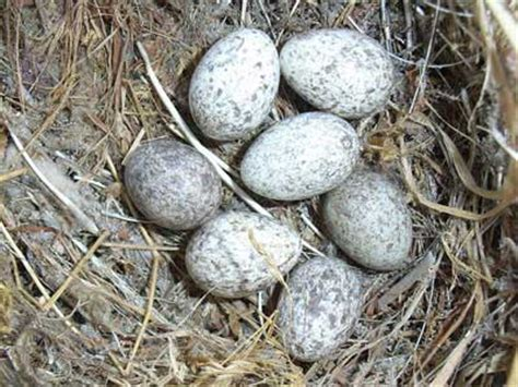 house sparrow eggs british birds eggs british bird lovers