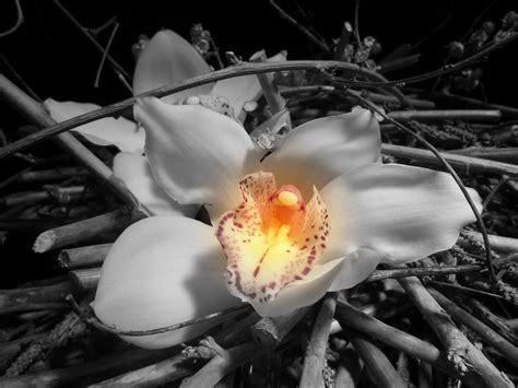 immagini in bianco e nero di fiori foto gratis orchidea fiore in bianco e nero immagine