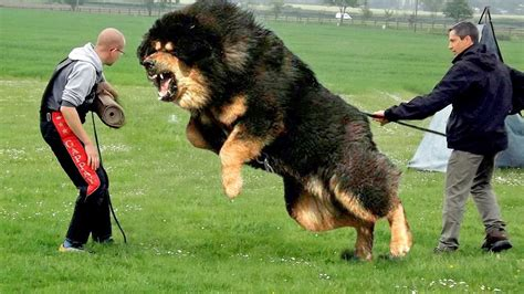 largest dogs in the world top 10 guard dogs in the world 2017