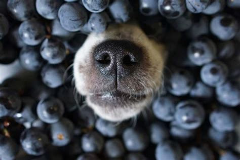 blueberries for dogs blueberries for dogs 101 can dogs eat blueberries and why