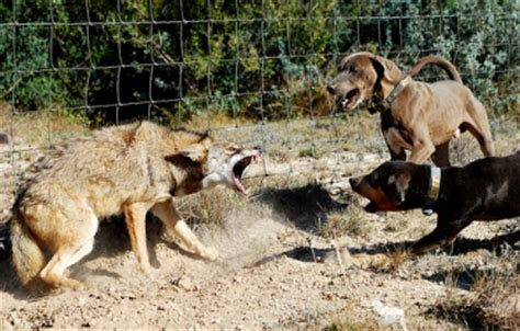 coyote attacks coyote in sacramento nuisance removal services
