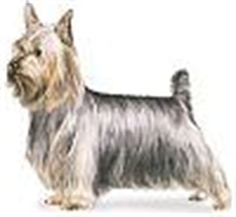 difference between yorkie and silky terrier how to tell the difference between a silky terrier and a yorkie yorkietalk