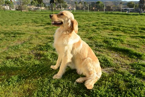 supplements for golden retrievers our goldens chadwick s goldens chadwick s goldens