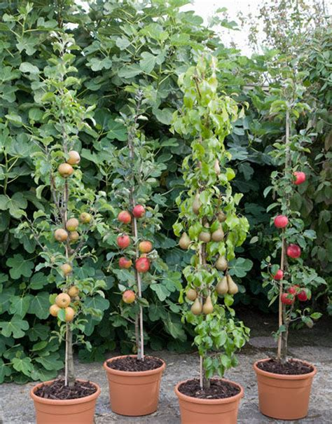 Fruit Trees In Containers Nz