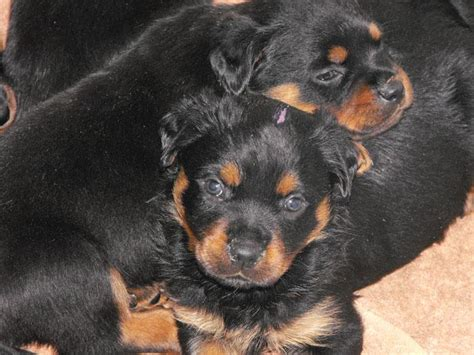 purebred rottweiler purebred rottweiler www imgkid the image kid has it