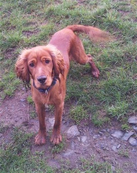 Bolt the cocker spaniel red setter x needs a new home - DAWG