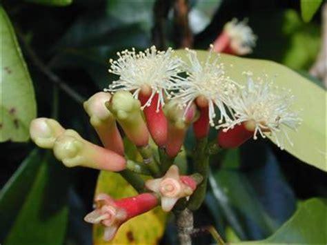 clove syzygium aromaticum herbal vaporizer reviews