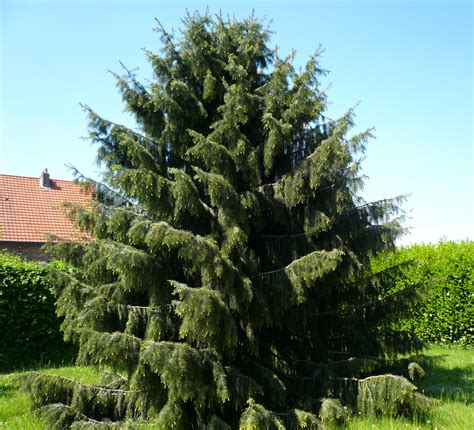 picea spruce tree