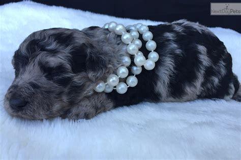 aussiedoodle puppies for sale nc aussiedoodle puppy for sale near jacksonville carolina ac1a87e5 b881