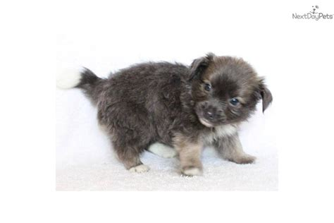 gray havanese meet a havanese puppy for sale for 699 adorable grey havanese sold