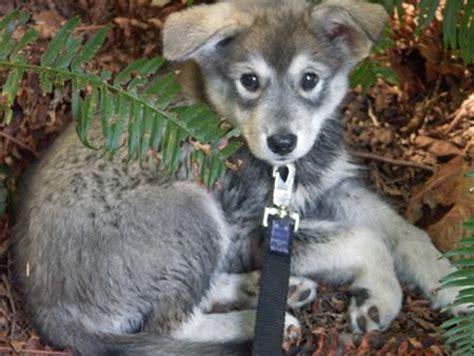 wolf pomeranian hybrid pomeranian sheepdog photo anuuk the husky mix puppies daily puppy pomeranian