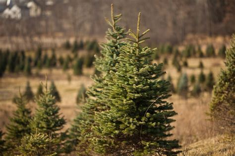 christmas tree farms in southeast michigan michigan tree farms the awesome mitten