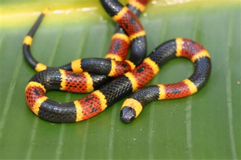 color pattern of coral snake blue collar prepping may 2016