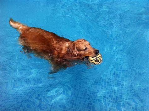 golden retrievers in pool golden retriever in pool flickr photo