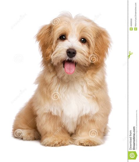 free havanese beautiful happy reddish havanese puppy is sitting frontal stock photo image of